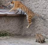В Харьковском зоопарке родились Амурские тигрята