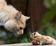 Генетики вывели мышь, которая не боится кошки
