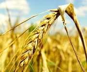 Россия предложила Украине создать «зерновую ОПЕК»