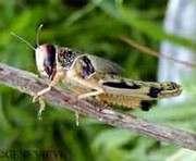 Херсонскую область атакует саранча