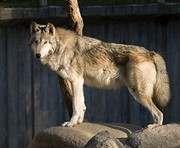 В Харьковском зоопарке появились канадские волки