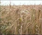 Прогноз на урожай остается оптимистичным