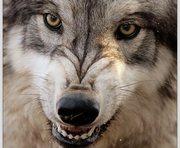 Волки искусали 6-летнюю россиянку в Одессе