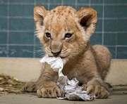 В Харьковском зоопарке поселится львенок