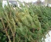 Куда в Харькове девают не проданные елки