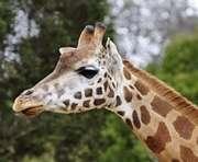 Когда в Харькове достроят дом жирафам