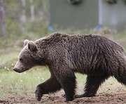 На Алтае ищут сбежавшего медведя
