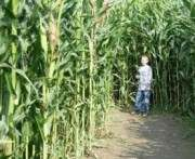 В Харьковской области ребенок заблудился в кукурузе: новые подробности