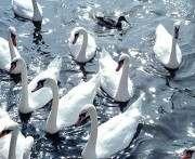 В Великобритании стартовала перепись лебедей