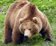 На Прикарпатье на девушку напали медведи