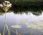 Северский Донец зацвел тропическим сорняком