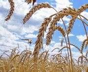 В Украине – рекордный урожай озимой пшеницы