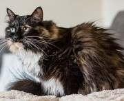 Найдена кошка с самой длинной шерстью