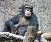 В голландском зоопарке шимпанзе палкой сбил беспилотник: видео