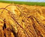 Минагропрод предварительно спрогнозировал урожай зерна в Украине