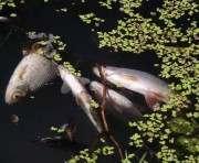 В Харьковской области обнаружился мор рыбы