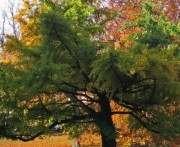 В парке Горького высадят самое древнее дерево