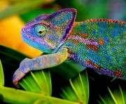Биологи открытии еще десять видов хамелеонов