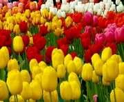 Россия пригрозила запретить импорт голландских тюльпанов