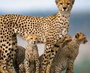 В Харьковском зоопарке откроют Дом гепардов