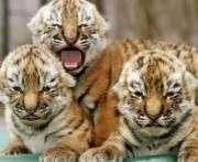 В Харьковском зоопарке пройдет День амурских тигров