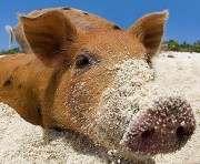 По соседству с Харьковской областью обнаружили африканскую чуму свиней