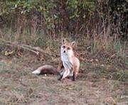 В Харькове – нашествие диких лисиц