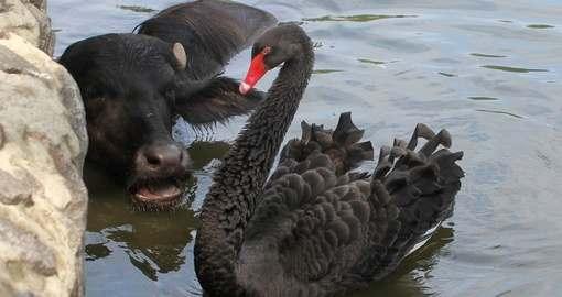В Харькове в лебедином озере поселилась буйволица: фото-видео