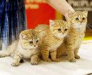 В Харькове пройдет международная выставка кошек