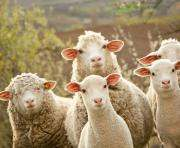 ОАЭ заинтересовались украинским овцеводством