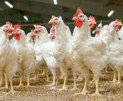 Украина за месяц истратила годовую квоту на поставки курятины в ЕС
