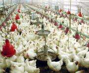 На птицефабрике под Харьковом куры незаконно пили воду
