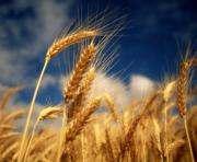 Погода продолжает преподносить сюрпризы будущему урожаю Харьковщины