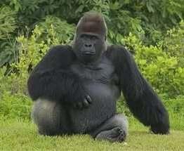 Геном горилл почти на 99% совпадает с человеческим