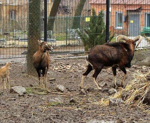 У харьковских муфлонов появилось потомство