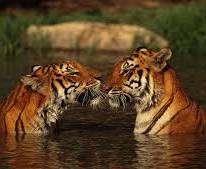 WWF зафиксировал рекордный рост популяции тигров