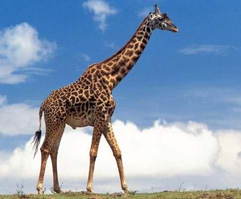 Раскрыта тайна длинной шеи жирафа