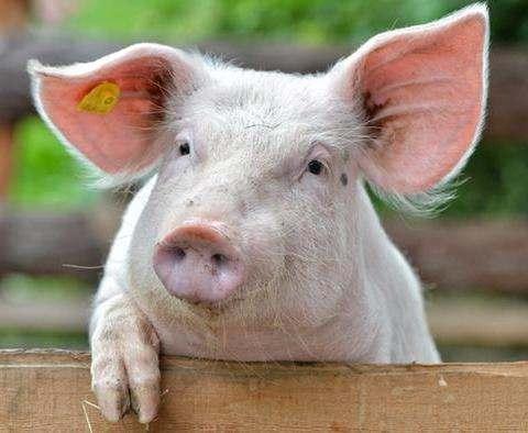 В ЮАР заинтересовались украинской свининой