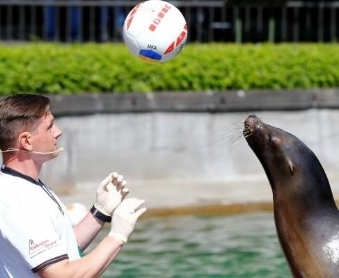 Евро-2016: морская львица из Кельна предсказала победу Украины над Германией