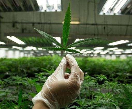 Microsoft проследит за выращиванием и продажей марихуаны