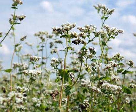 В Харьковской области увеличили посевы гречихи и сахарной свеклы