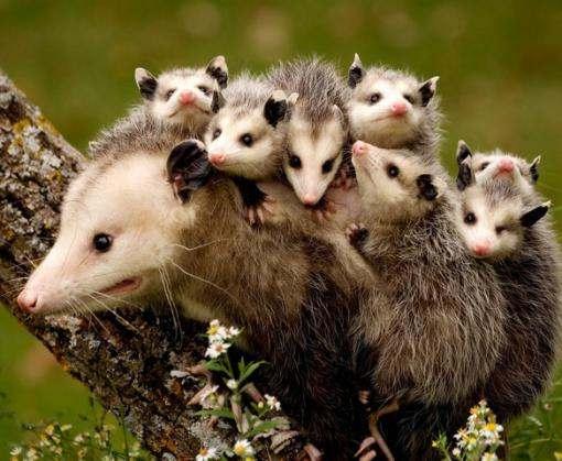 В Новой Зеландии задумали уничтожить всех диких хищников
