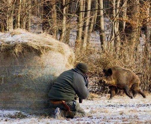 В Харьковской области будут отстреливать диких кабанов