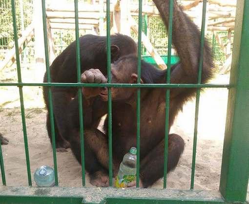 Из Харьковского зоопарка увезли шимпанзе