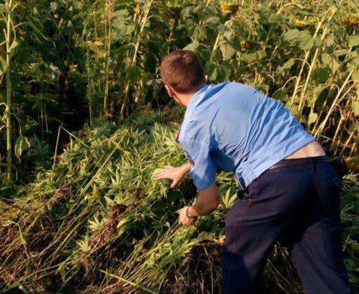 Под Харьковом нашли плантацию конопли