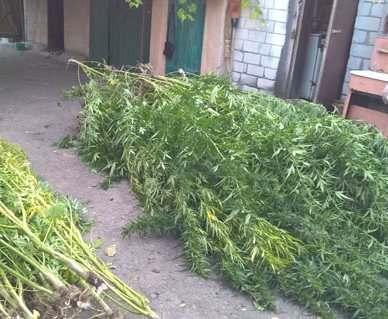 Под Харьковом мужчина вырастил на огороде почти сто кустов конопли
