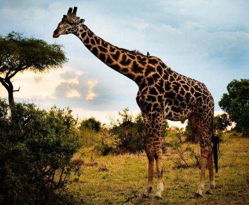 Ученые нашли новые виды жирафов