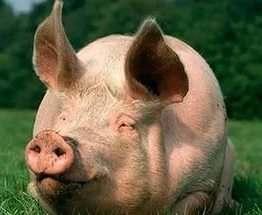 В Харькове перевернулась фура со свиньями