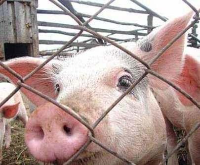 Владельцы свиней, уничтоженных из-за АЧС, начнут получать материальную компенсацию в течение недели
