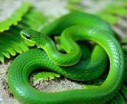 Ученые выяснили, почему змеи остались без лап